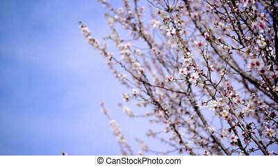 Cherry blossoms in spring, branches of cherry tree with...