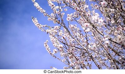 Cherry blossoms in spring