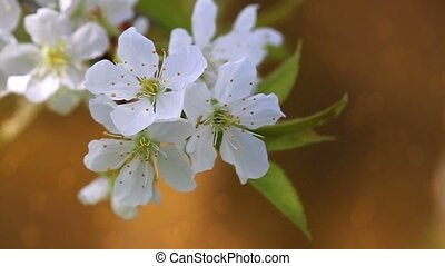 Cherry blossoms in spring . - Cherry blossoms isolated on...