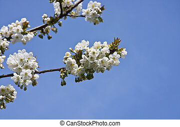 Cherry blossoms in spring over blue sky