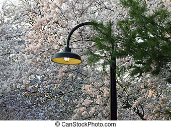 Cherry Blossoms & Light