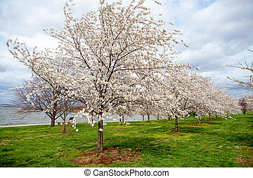 Cherry Blossoms on Field by River - Beautiful field with...