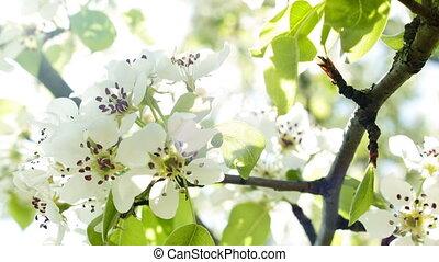 Cherry blossoms on sun