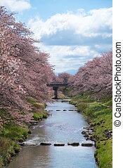 Cherry blossoms or Sakura at the river