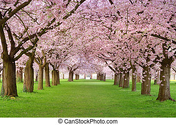 Cherry blossoms plenitude - Rows of beautifully blossoming ...