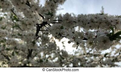 Cherry blossoms swaying 4k macro