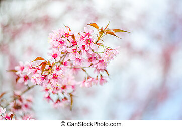 cherry Blossoms tree with blur background