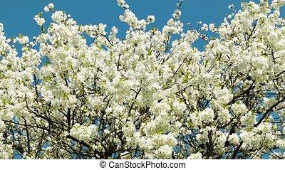Cherry blossoms tree zoom