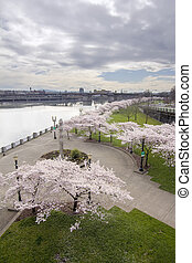Cherry Blossoms Trees Along Willamette River Waterfront...