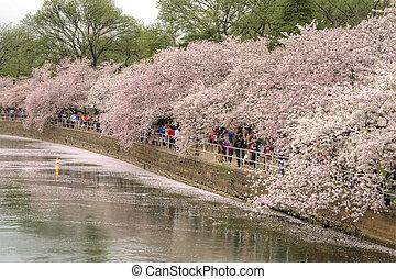 Cherry blossoms - Washington D.C. - April 10, 2013: Tourists...
