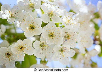 Cherry blossoms with green leaves