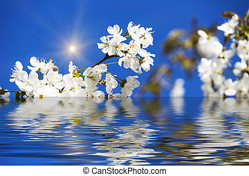 Cherry Blossoms with Reflection