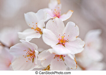 Cherry blosson in DC - Close up of sakura branch in ...