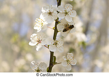 cherry branch blossoms in spring
