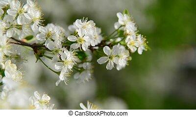 Cherry branch in abundant flowering, macro - Cherry branch...