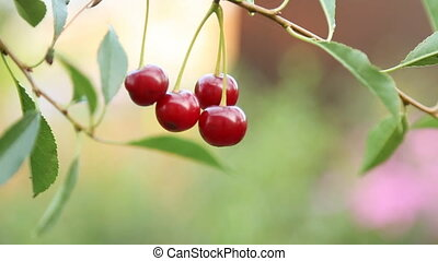Cherry branch in garden