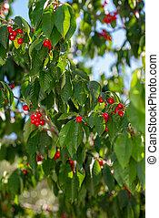 cherry branch with cherries