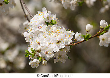 Cherry branch with flowers in the spring