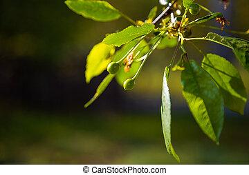 Cherry branch with unripe cherries