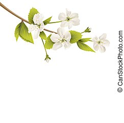 Cherry branch with white flowers isolated on white