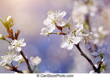Cherry branches with flowers in sunny spring day.