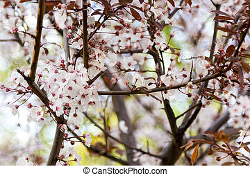 cherry branches with red leaves blossom