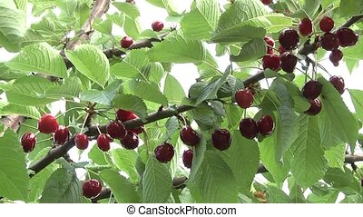 Cherry - Cherries in the summer garden.