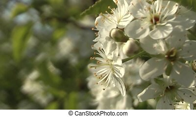 Cherry - cherry blossom in spring in the garden.