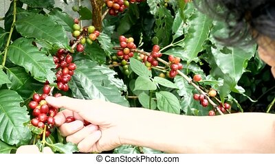 Cherry coffee beans hands harvesting ,arabica coffee berries...