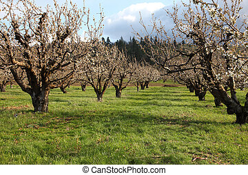 Cherry farm orchard near Hood River - Spring cherry blossoms...