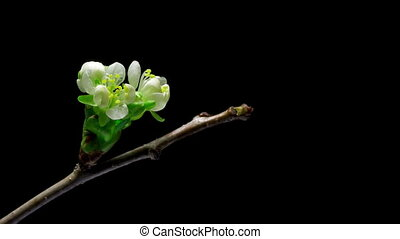 Cherry flowers blossom bud growing isolated on black...