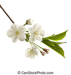 Blossoming cherry branch with white flowers. Realistic vector illustration
