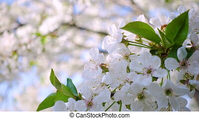cherry flowers close up