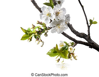 Cherry Flowers in Spring Over White Background