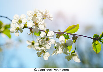 Cherry flowers in spring sunny day