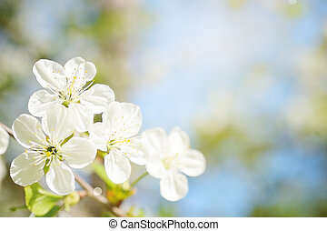 Cherry flowers in sunny day