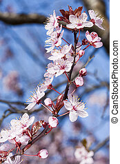 Cherry flowers on a blue sky