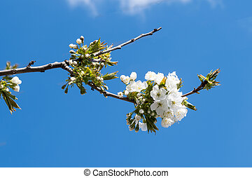 cherry flowers on a tree in spring