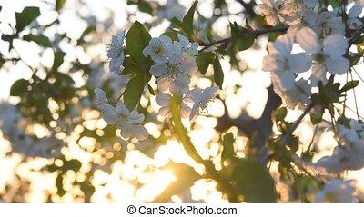 Cherry flowers on sunrise