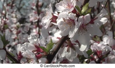 cherry, - flowering cherry orchard.