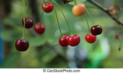 Cherry fruit on the branch. - Cherry tree with ripe cherries...