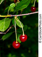 Two cherries on a branch. Cherries in droplets of water.