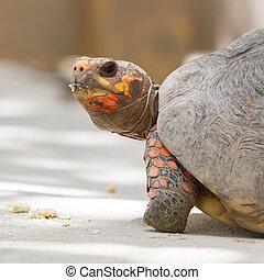 Cherry head red foot tortoise, Geochelone carbonaria