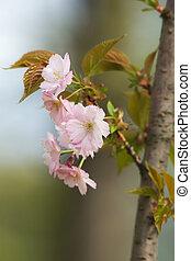 cherry in a spring garden closeup