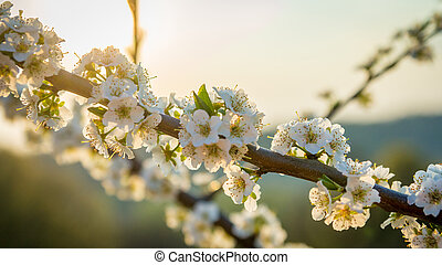 Cherry in the background of sunset