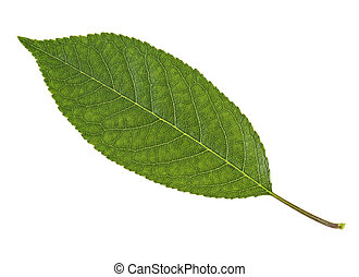 Cherry leaf isolated on white background