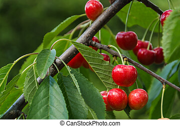 Cherry on a tree branch