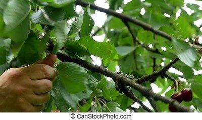 Cherry on the tree 4k