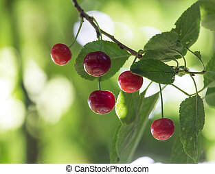 Cherry on the tree in nature