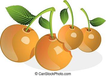 Cherry or Prunus sp., illustration - Cherry or Prunus sp.,...